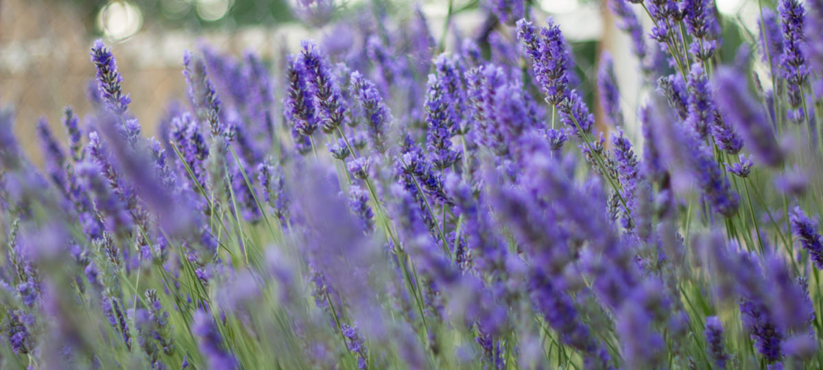 Lavender-featured_image